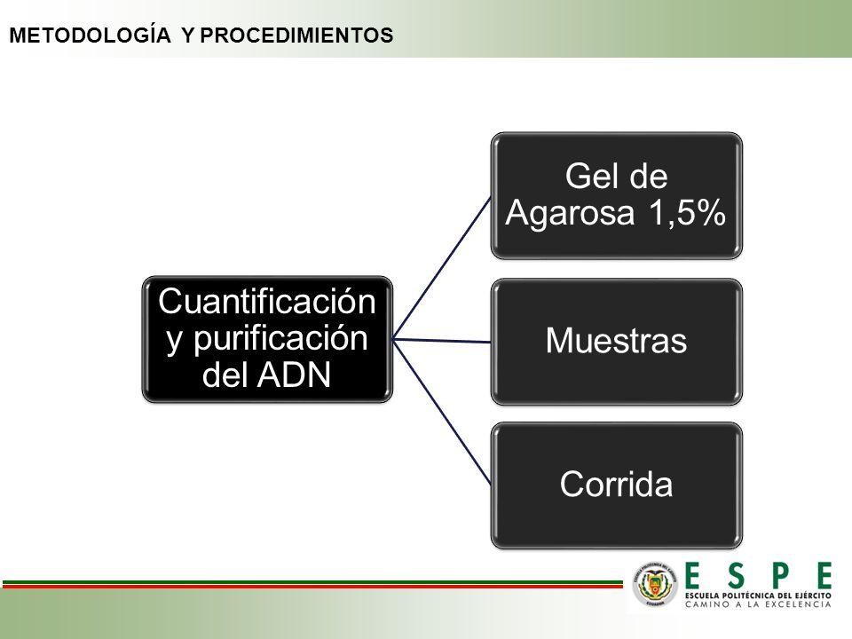 Cuantificación y purificación del ADN Gel de Agarosa 1,5% MuestrasCorrida METODOLOGÍA Y PROCEDIMIENTOS