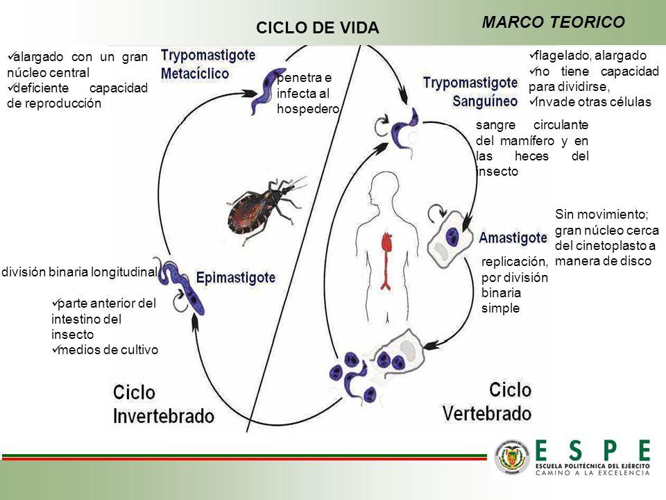 CICLO DE VIDA alargado con un gran núcleo central deficiente capacidad de reproducción penetra e infecta al hospedero flagelado, alargado no tiene cap