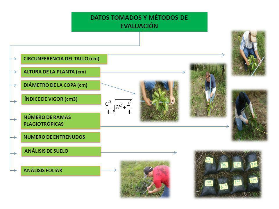 DATOS TOMADOS Y MÉTODOS DE EVALUACIÓN CIRCUNFERENCIA DEL TALLO (cm) ALTURA DE LA PLANTA (cm) DIÁMETRO DE LA COPA (cm) ÍNDICE DE VIGOR (cm3) NÚMERO DE