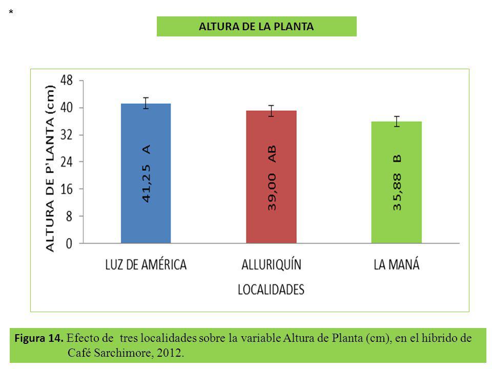 Figura 14. Efecto de tres localidades sobre la variable Altura de Planta (cm), en el híbrido de Café Sarchimore, 2012. ALTURA DE LA PLANTA *