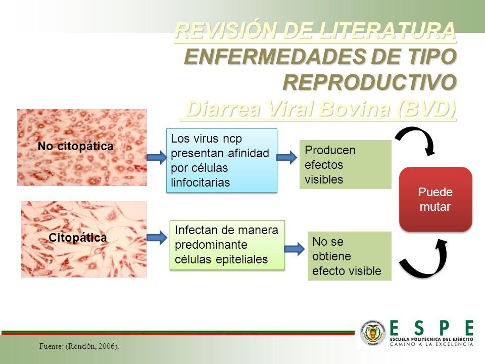 REVISIÓN DE LITERATURA ENFERMEDADES DE TIPO REPRODUCTIVO Diarrea Viral Bovina (BVD) Fuente: (Rond ó n, 2006). No citopática Citopática Los virus ncp p