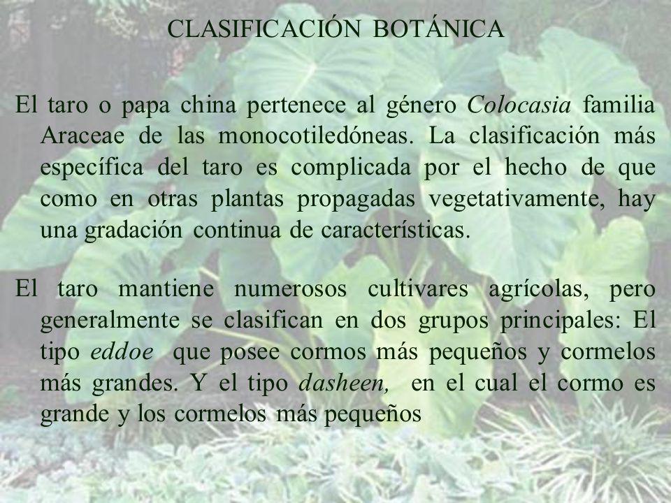 CLASIFICACIÓN BOTÁNICA El taro o papa china pertenece al género Colocasia familia Araceae de las monocotiledóneas.