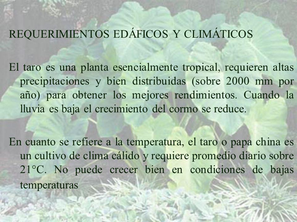 REQUERIMIENTOS EDÁFICOS Y CLIMÁTICOS El taro es una planta esencialmente tropical, requieren altas precipitaciones y bien distribuidas (sobre 2000 mm por año) para obtener los mejores rendimientos.