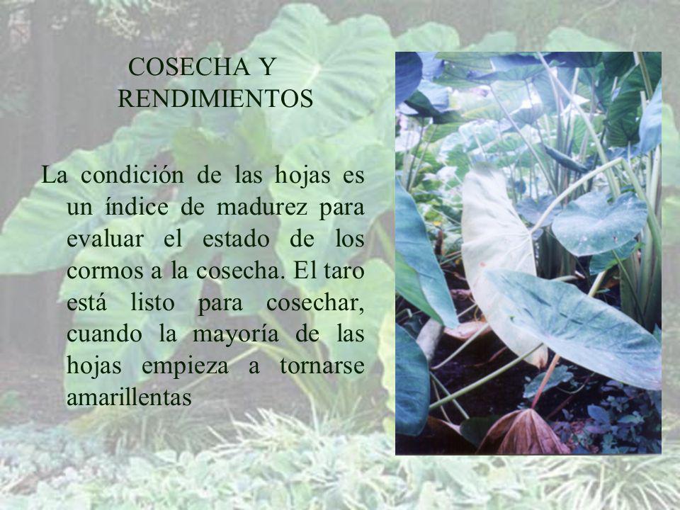 COSECHA Y RENDIMIENTOS La condición de las hojas es un índice de madurez para evaluar el estado de los cormos a la cosecha.