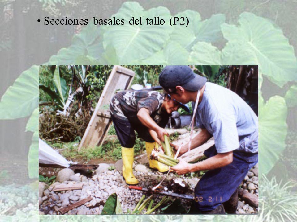 Secciones basales del tallo (P2)