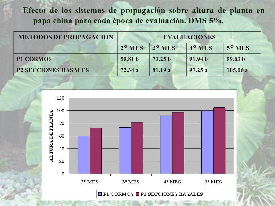METODOS DE PROPAGACIONEVALUACIONES 2° MES3° MES4° MES5° MES P1 CORMOS59.81 b73.25 b91.94 b99.63 b P2 SECCIONES BASALES72.34 a81.19 a97.25 a105.06 a Efecto de los sistemas de propagación sobre altura de planta en papa china para cada época de evaluación.