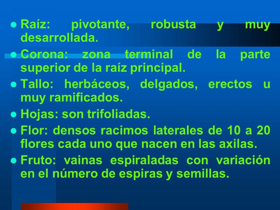 2.Características morfológicas Clasificación Botánica Reino............................... Vegetal Clase................................ Angiosperma S