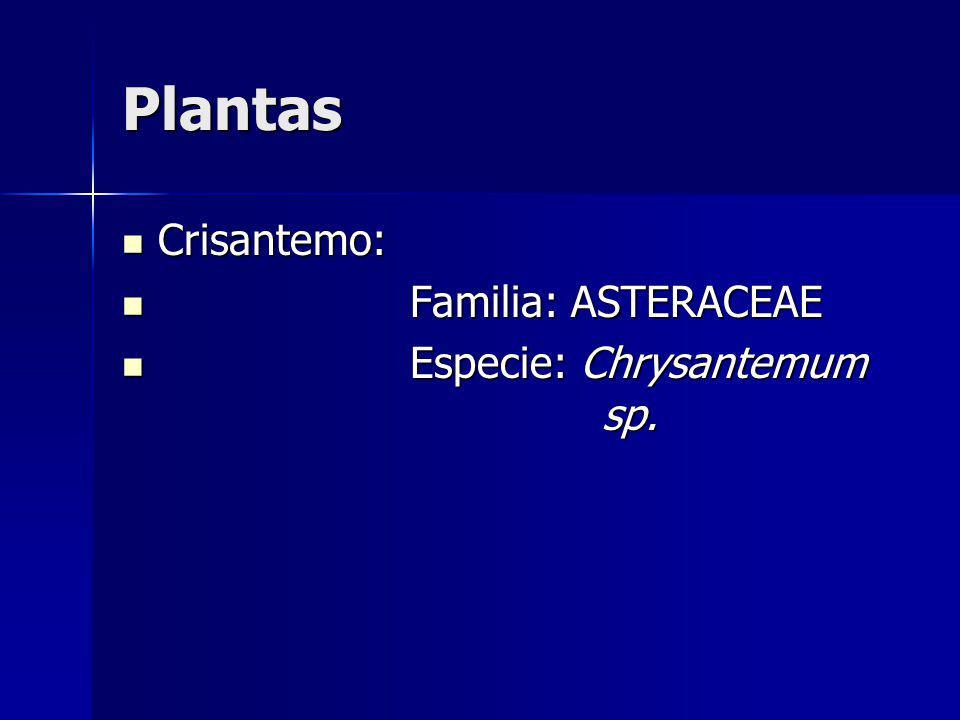 Plantas Crisantemo: Crisantemo: Familia: ASTERACEAE Familia: ASTERACEAE Especie: Chrysantemum sp. Especie: Chrysantemum sp.