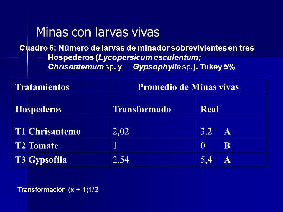 Minas con larvas vivas TratamientosPromedio de Minas vivas HospederosTransformadoReal T1 Chrisantemo2,023,2 A T2 Tomate10 B T3 Gypsofila2,545,4 A Cuadro 6: Número de larvas de minador sobrevivientes en tres Hospederos (Lycopersicum esculentum; Chrisantemum sp.
