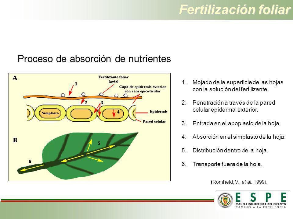 Fertilización foliar Proceso de absorción de nutrientes 1.Mojado de la superficie de las hojas con la solución del fertilizante. 2.Penetración a travé