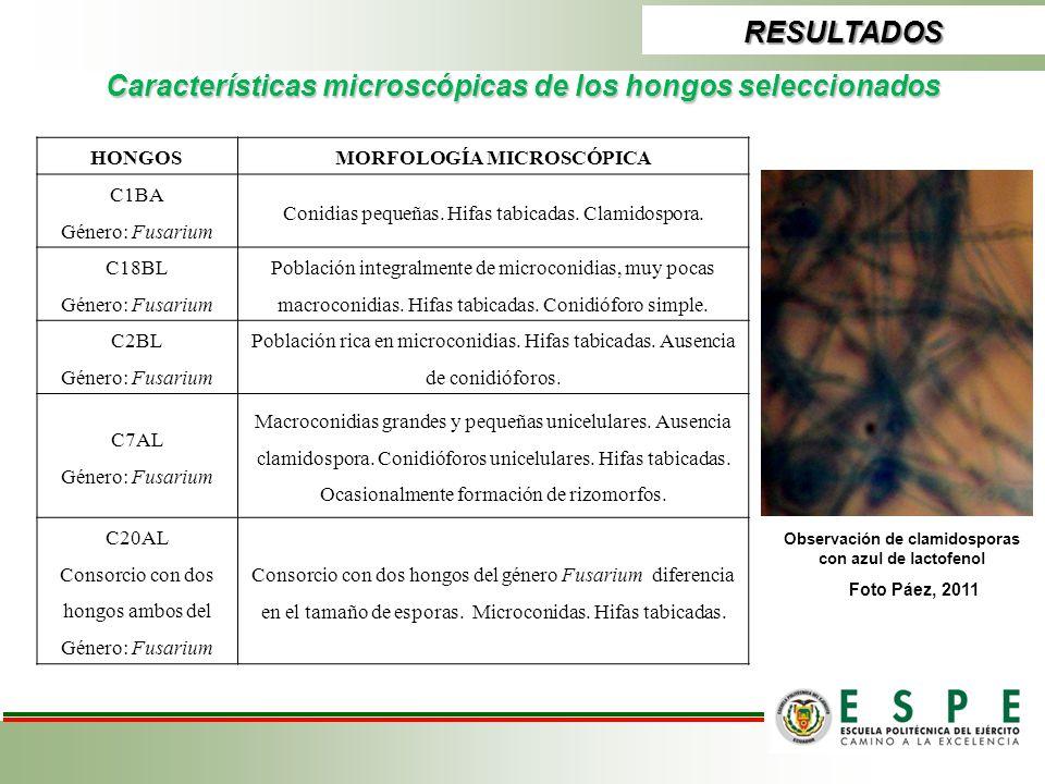 RESULTADOS Características microscópicas de los hongos seleccionados HONGOSMORFOLOGÍA MICROSCÓPICA C1BA Género: Fusarium Conidias pequeñas. Hifas tabi