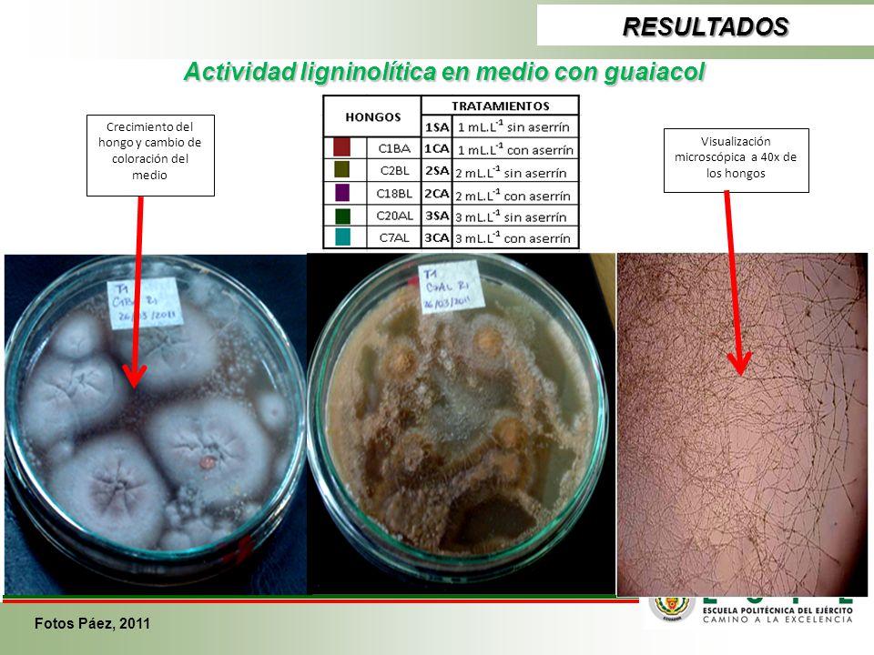 RESULTADOS Actividad ligninolítica en medio con guaiacol Crecimiento del hongo y cambio de coloración del medio Visualización microscópica a 40x de lo