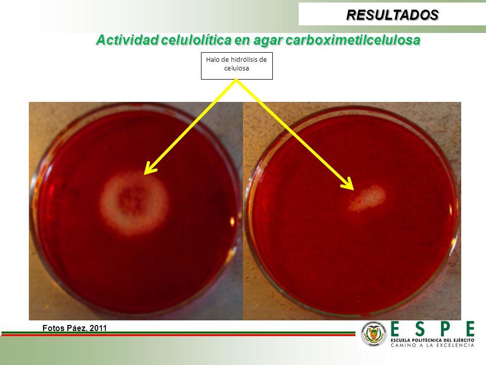 Actividad celulolítica en agar carboximetilcelulosa RESULTADOS Halo de hidrólisis de celulosa Fotos Páez, 2011