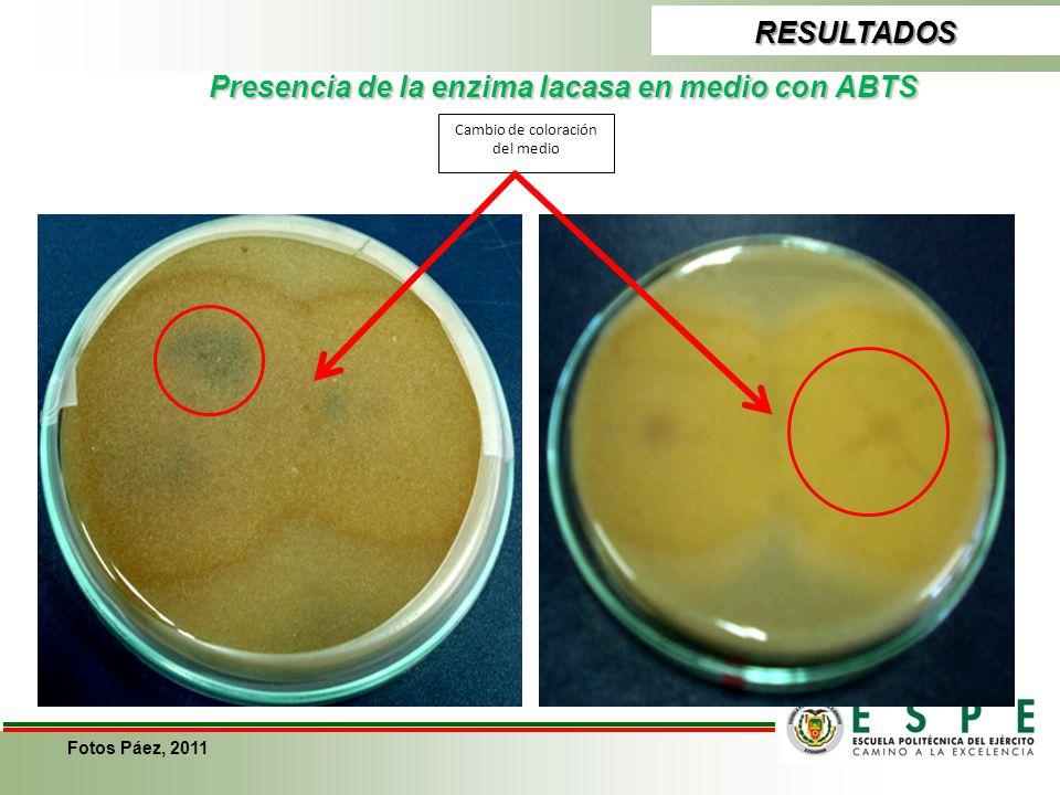 Presencia de la enzima lacasa en medio con ABTS RESULTADOS Cambio de coloración del medio Fotos Páez, 2011