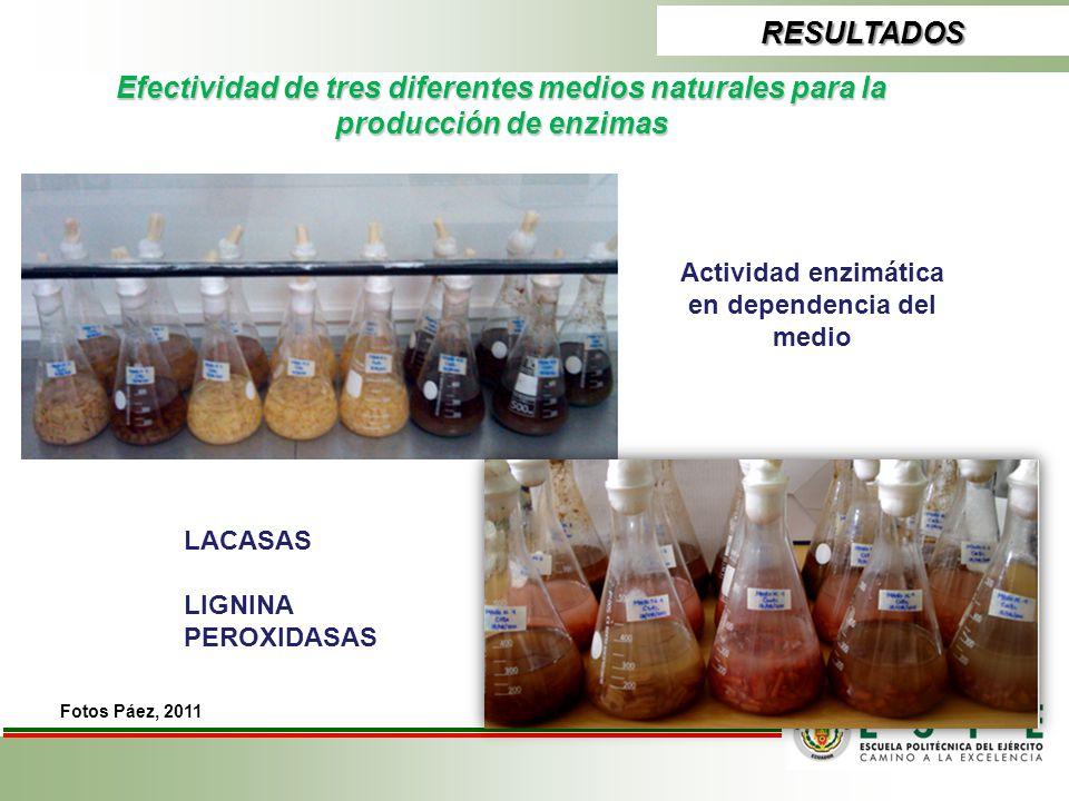 RESULTADOS Efectividad de tres diferentes medios naturales para la producción de enzimas Actividad enzimática en dependencia del medio LACASAS LIGNINA