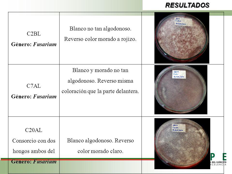 RESULTADOS C2BL Género: Fusarium Blanco no tan algodonoso. Reverso color morado a rojizo. C7AL Género: Fusarium Blanco y morado no tan algodonoso. Rev
