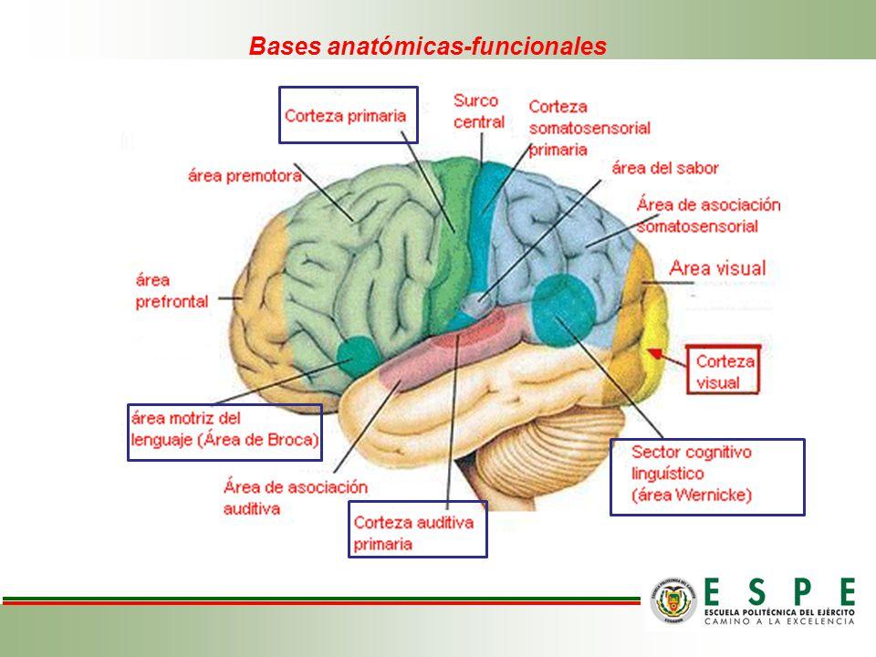 Bases anatómicas-funcionales