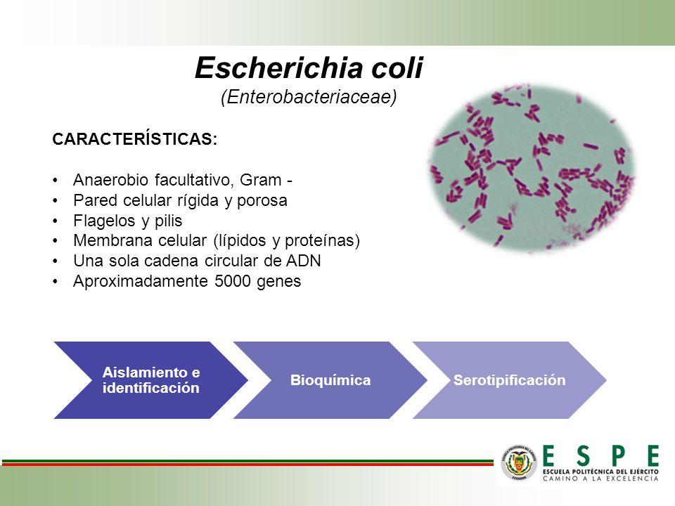 Escherichia coli (Enterobacteriaceae) CARACTERÍSTICAS: Anaerobio facultativo, Gram - Pared celular rígida y porosa Flagelos y pilis Membrana celular (lípidos y proteínas) Una sola cadena circular de ADN Aproximadamente 5000 genes Aislamiento e identificación BioquímicaSerotipificación