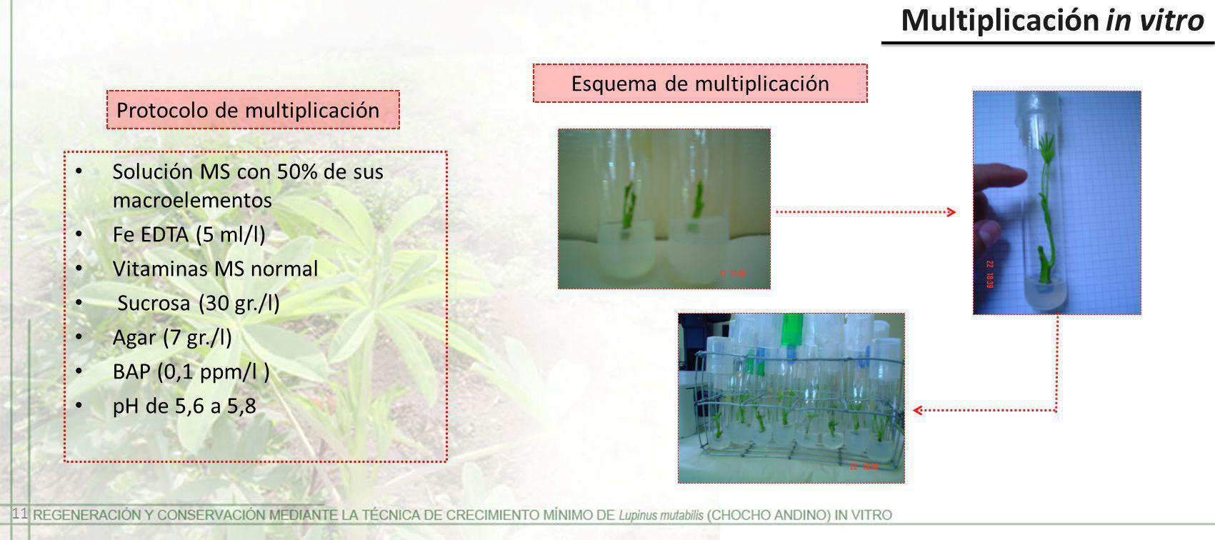 Protocolo de multiplicación Multiplicación in vitro Solución MS con 50% de sus macroelementos Fe EDTA (5 ml/l) Vitaminas MS normal Sucrosa (30 gr./l)
