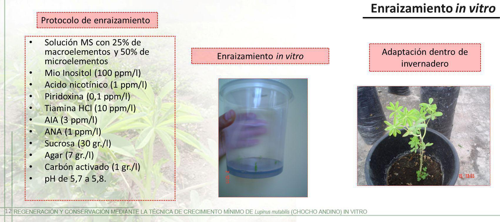Enraizamiento in vitro Protocolo de enraizamiento Solución MS con 25% de macroelementos y 50% de microelementos Mio Inositol (100 ppm/l) Acido nicotín