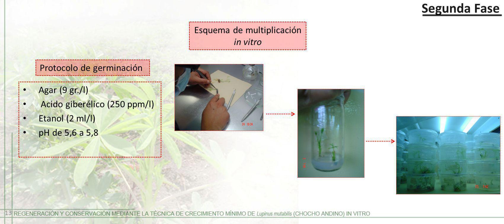 Segunda Fase Protocolo de germinación Agar (9 gr./l) Acido giberélico (250 ppm/l) Etanol (2 ml/l) pH de 5,6 a 5,8 Esquema de multiplicación in vitro 1