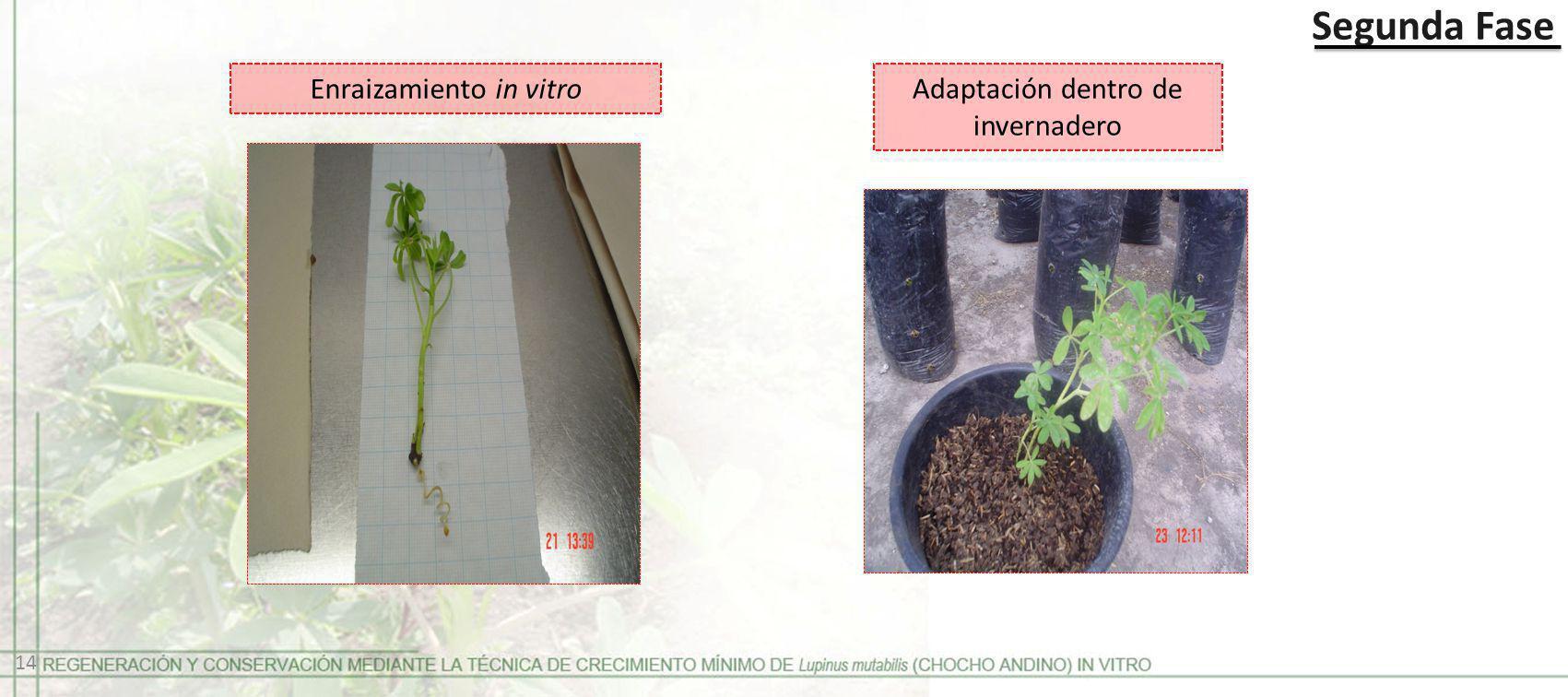 Segunda Fase Enraizamiento in vitro Adaptación dentro de invernadero 14