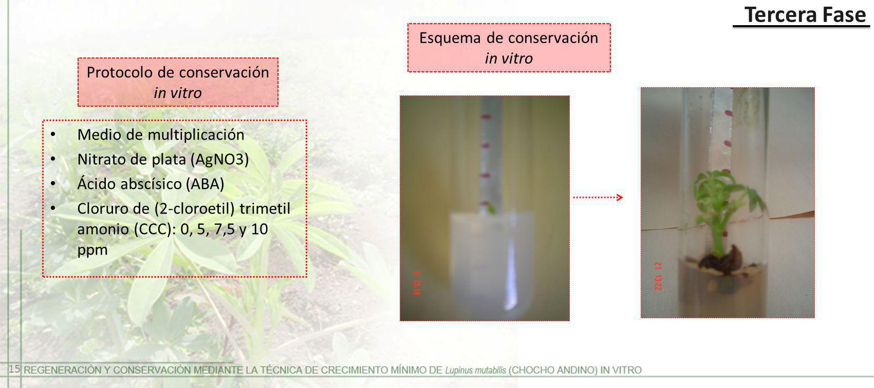 Tercera Fase Protocolo de conservación in vitro Medio de multiplicación Nitrato de plata (AgNO3) Ácido abscísico (ABA) Cloruro de (2-cloroetil) trimet