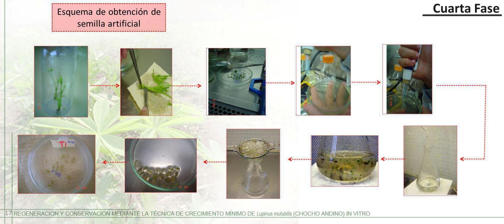 Cuarta Fase Esquema de obtención de semilla artificial 17