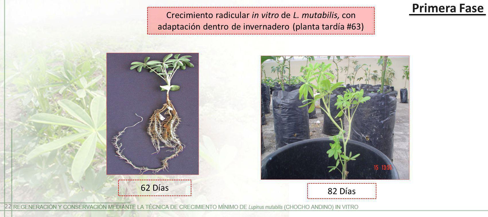 Primera Fase Crecimiento radicular in vitro de L. mutabilis, con adaptación dentro de invernadero (planta tardía #63) 22 62 Días 82 Días