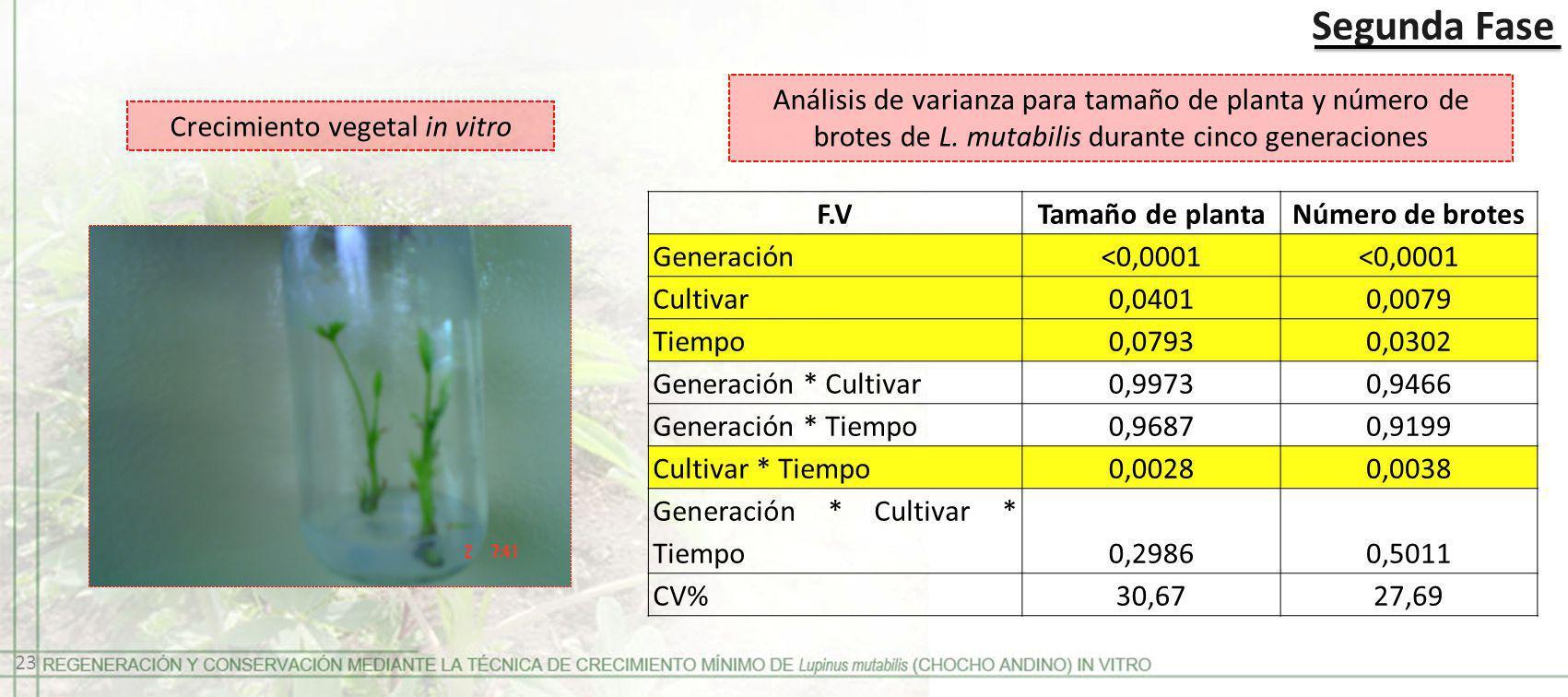 Segunda Fase Crecimiento vegetal in vitro Análisis de varianza para tamaño de planta y número de brotes de L. mutabilis durante cinco generaciones F.V