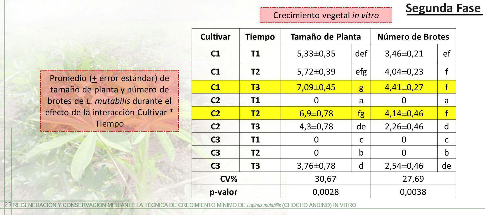 Segunda Fase Promedio (+ error estándar) de tamaño de planta y número de brotes de L. mutabilis durante el efecto de la interacción Cultivar * Tiempo