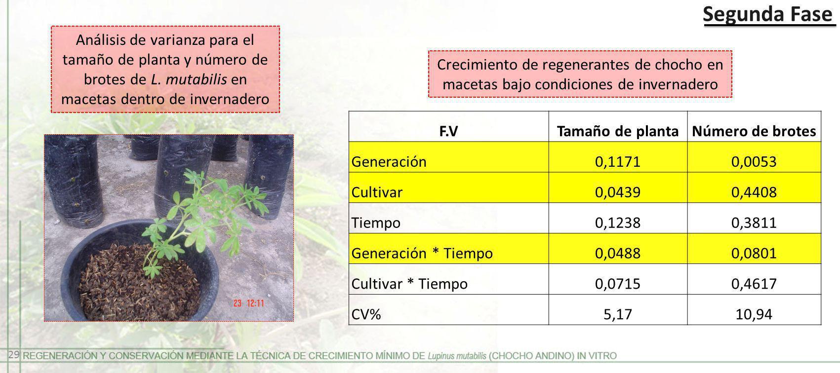 Segunda Fase Crecimiento de regenerantes de chocho en macetas bajo condiciones de invernadero F.VTamaño de plantaNúmero de brotes Generación0,11710,00