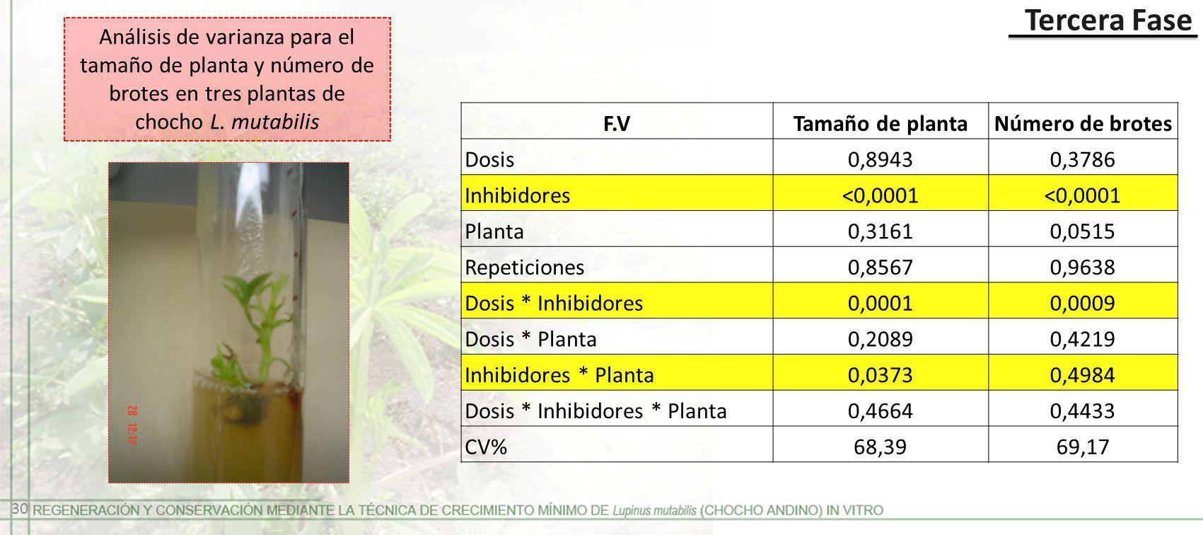 Tercera Fase Análisis de varianza para el tamaño de planta y número de brotes en tres plantas de chocho L. mutabilis F.VTamaño de plantaNúmero de brot