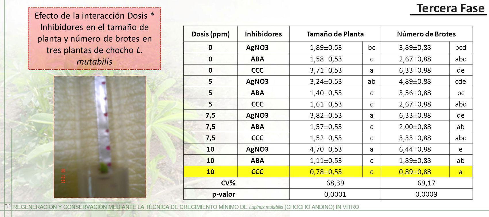 Tercera Fase Efecto de la interacción Dosis * Inhibidores en el tamaño de planta y número de brotes en tres plantas de chocho L. mutabilis Dosis (ppm)