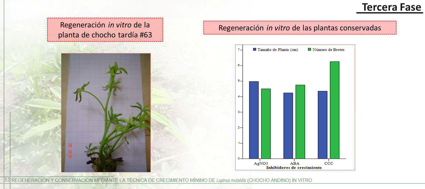 Tercera Fase Regeneración in vitro de las plantas conservadas Regeneración in vitro de la planta de chocho tardía #63 32