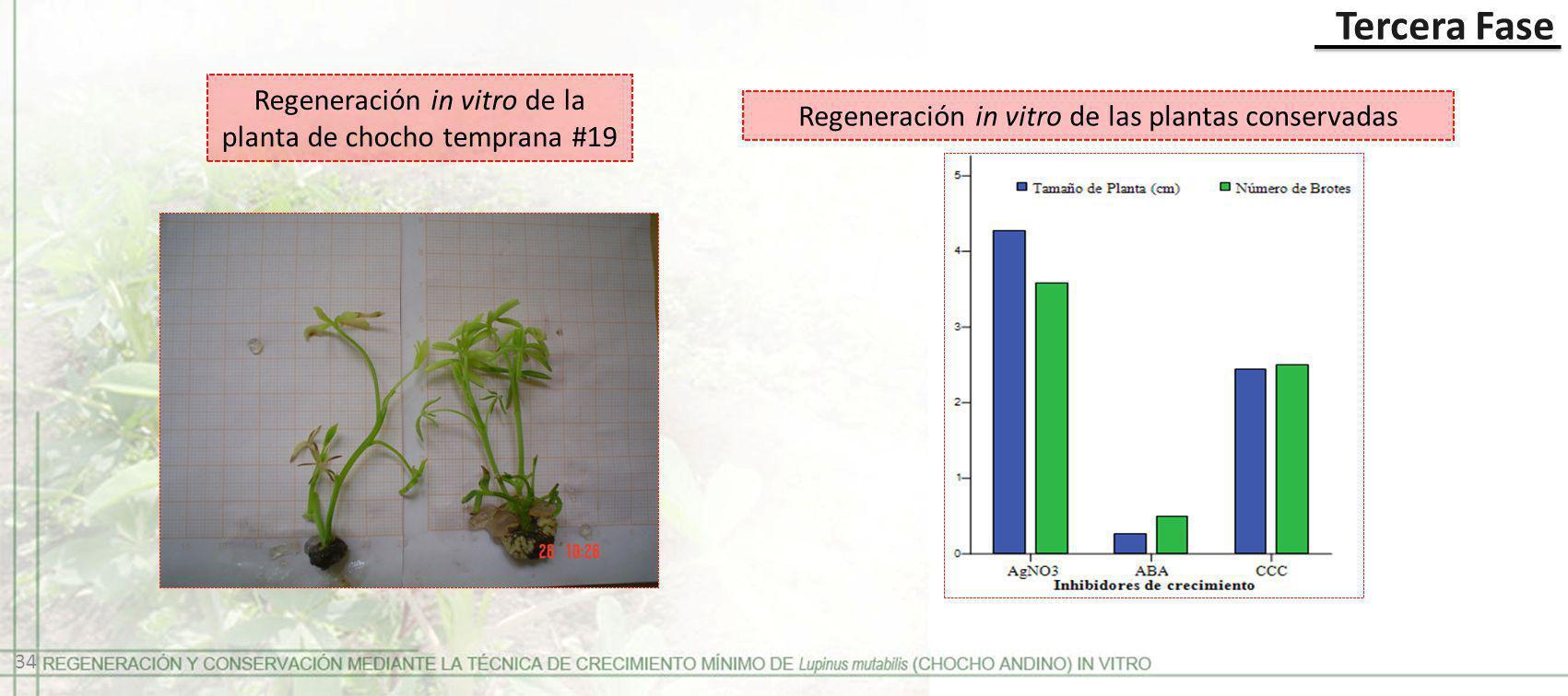 Tercera Fase Regeneración in vitro de las plantas conservadas Regeneración in vitro de la planta de chocho temprana #19 34