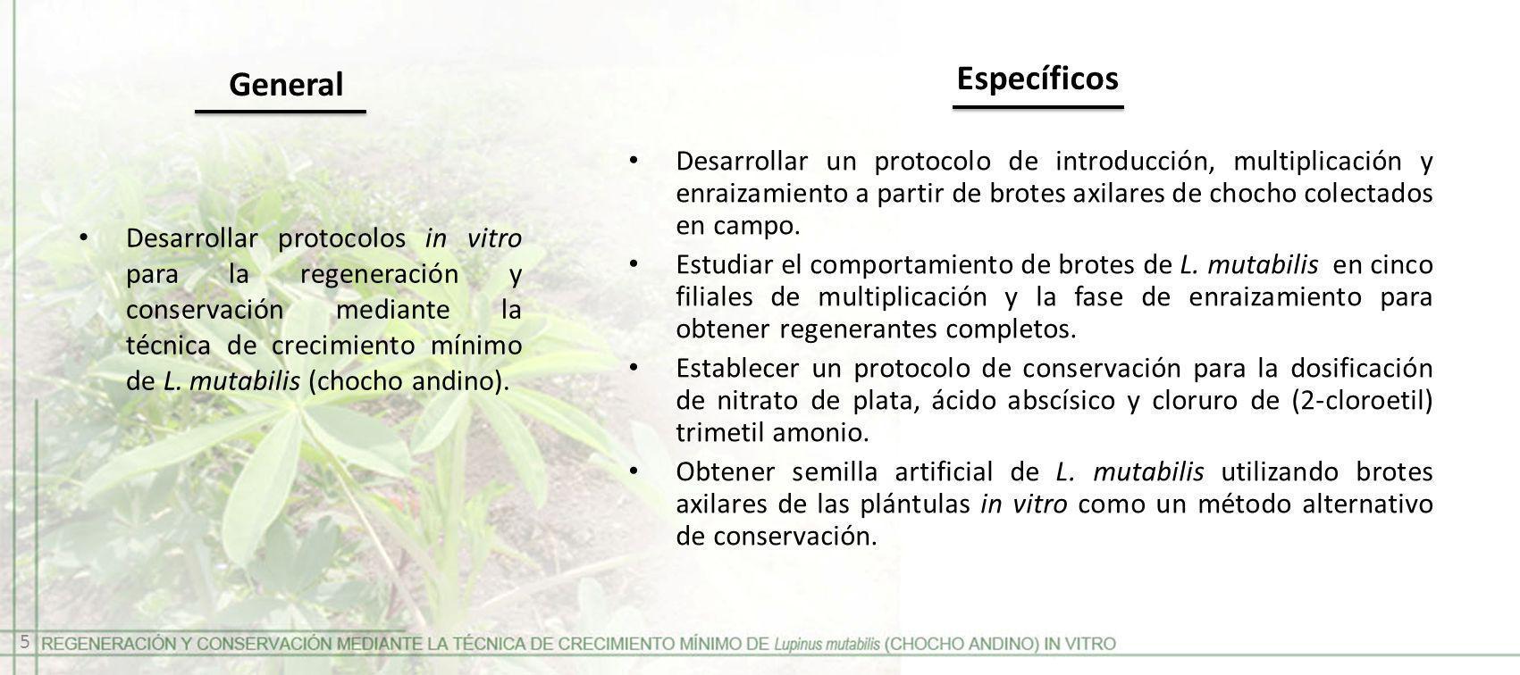 Desarrollar protocolos in vitro para la regeneración y conservación mediante la técnica de crecimiento mínimo de L. mutabilis (chocho andino). General