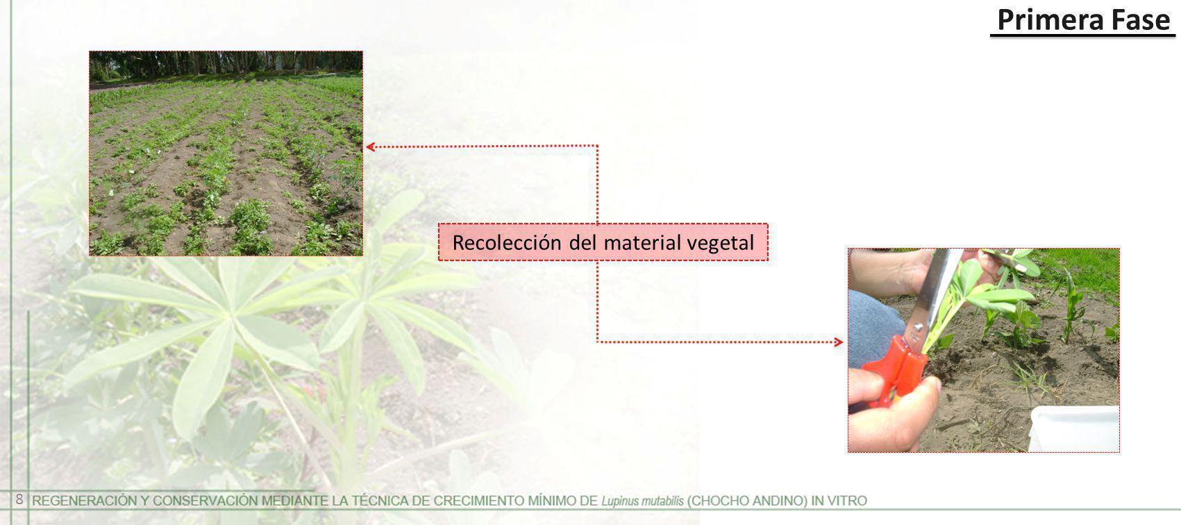 Primera Fase Recolección del material vegetal 8