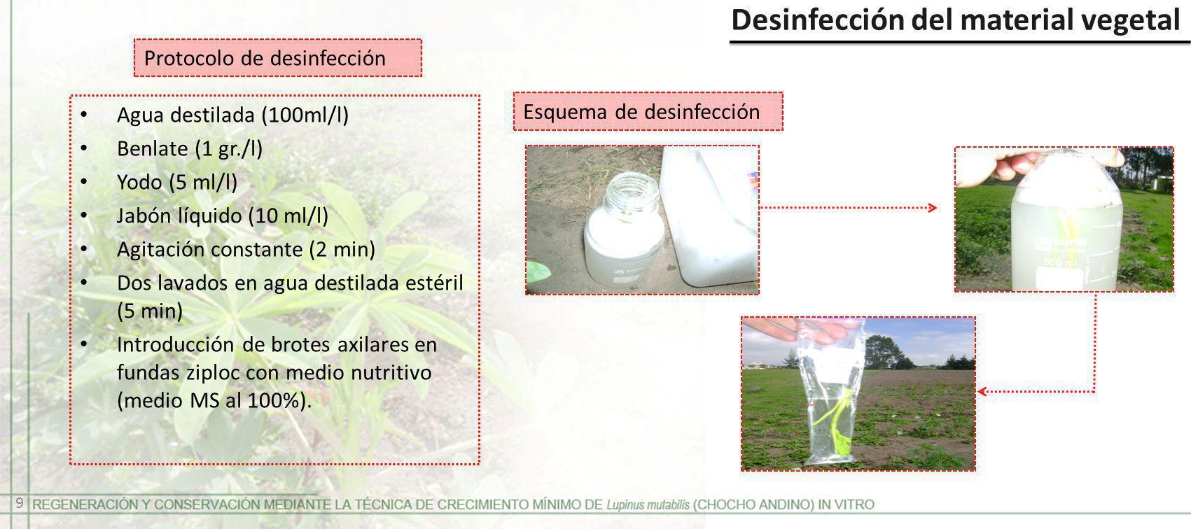 Desinfección del material vegetal Protocolo de desinfección Agua destilada (100ml/l) Benlate (1 gr./l) Yodo (5 ml/l) Jabón líquido (10 ml/l) Agitación