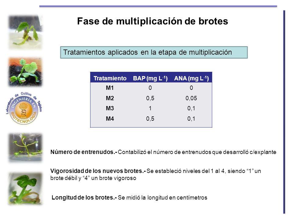 Fase de multiplicación de brotes TratamientoBAP (mg L -1 )ANA (mg L -1 ) M1 M2 M3 M4 0 0,5 1 0,5 0 0,05 0,1 Número de entrenudos.- Contabilizó el núme