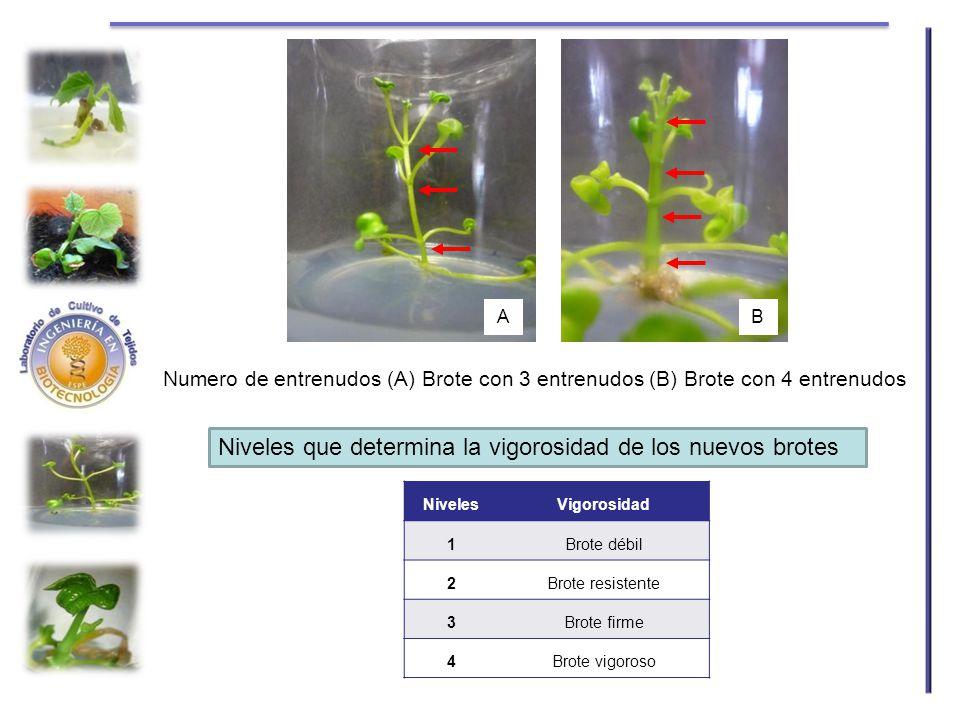 Numero de entrenudos (A) Brote con 3 entrenudos (B) Brote con 4 entrenudos Niveles que determina la vigorosidad de los nuevos brotes NivelesVigorosida