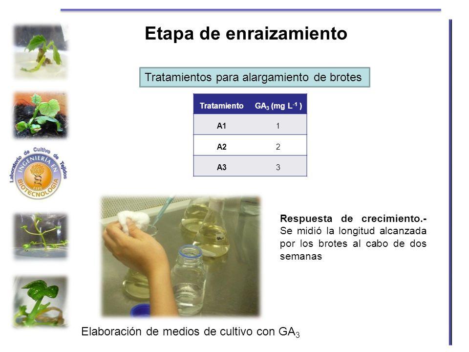 Etapa de enraizamiento TratamientoGA 3 (mg L -1 ) A11 A22 A33 Respuesta de crecimiento.- Se midió la longitud alcanzada por los brotes al cabo de dos