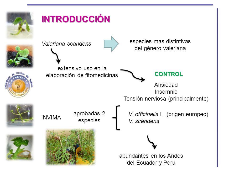 Valeriana scandens especies mas distintivas del género valeriana extensivo uso en la elaboración de fitomedicinas Ansiedad Insomnio Tensión nerviosa (