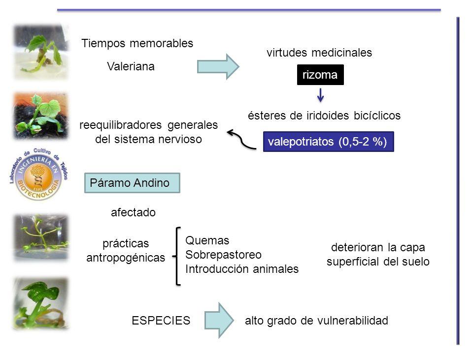 Tiempos memorables Valeriana rizoma virtudes medicinales ésteres de iridoides bicíclicos valepotriatos (0,5-2 %) reequilibradores generales del sistem