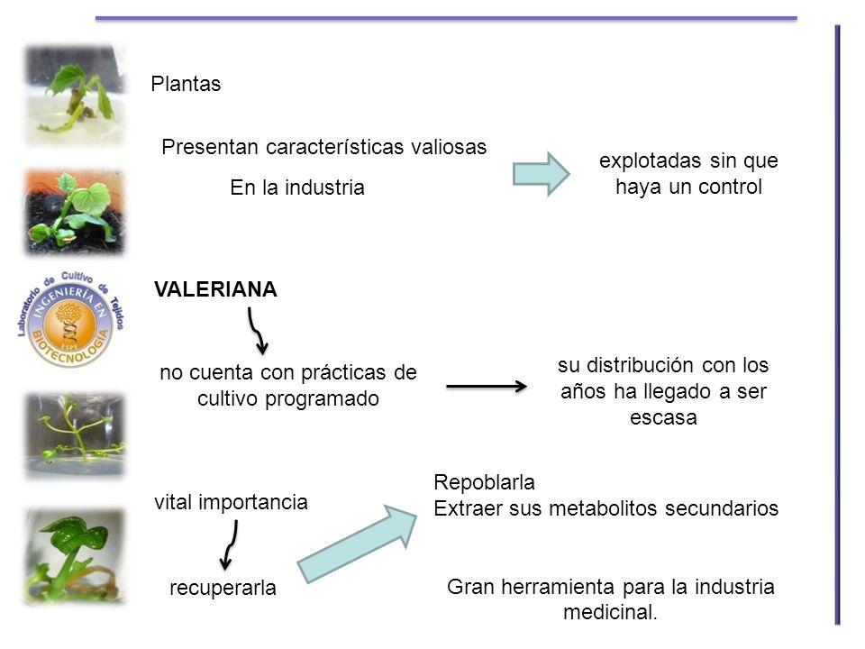 Plantas En la industria Presentan características valiosas explotadas sin que haya un control VALERIANA no cuenta con prácticas de cultivo programado