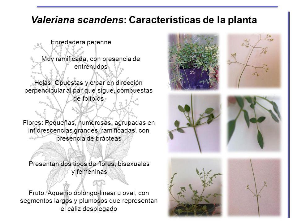 Valeriana scandens: Características de la planta Enredadera perenne Muy ramificada, con presencia de entrenudos Hojas: Opuestas y c/par en dirección p