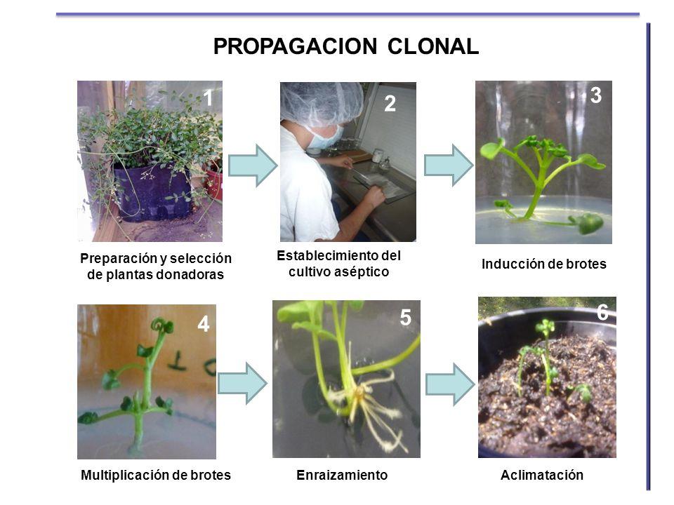 PROPAGACION CLONAL 1 2 3 Preparación y selección de plantas donadoras Establecimiento del cultivo aséptico Inducción de brotes Multiplicación de brote