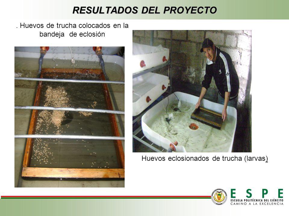 RESULTADOS DEL PROYECTO Huevos eclosionados de trucha (larvas). Huevos de trucha colocados en la bandeja de eclosión