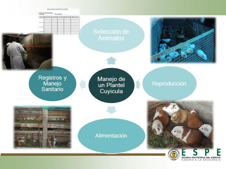 Manejo de un Plantel Cuyicula Selección de Animales ReproducciónAlimentación Registros y Manejo Sanitario
