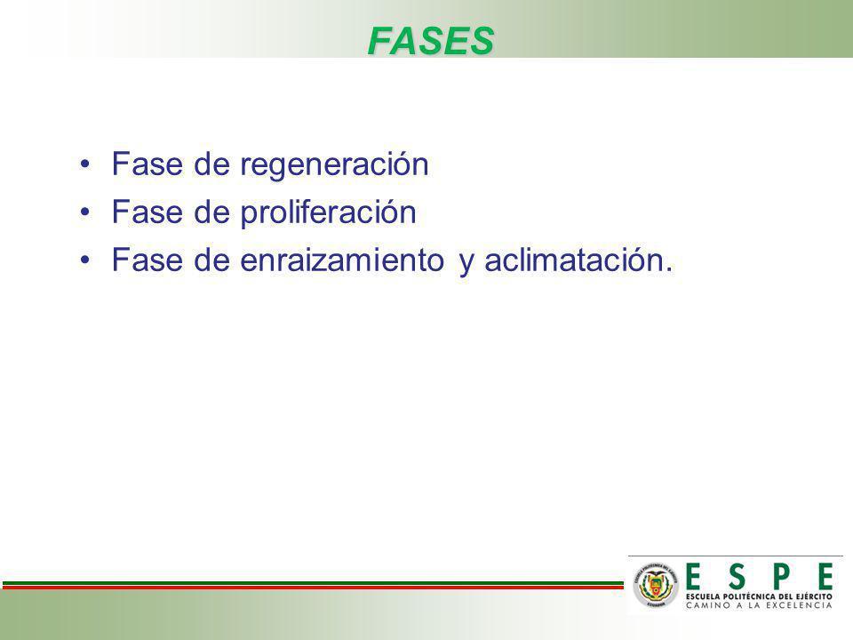 FASES Fase de regeneración Fase de proliferación Fase de enraizamiento y aclimatación.